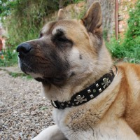 Collars for large & giant dogs
