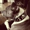 Pippin wearing a custom collar